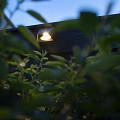 Wedge Dark Wall 12V/1,5W LED Charcoal 7021 / rose silver Warm